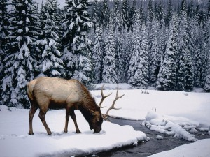 Elk Looking for Food in Snow