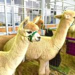 シドニーを楽しむイベント④秋の風物詩「イースターショー」で動物&グルメ三昧!(2016年3月17〜30日開催)