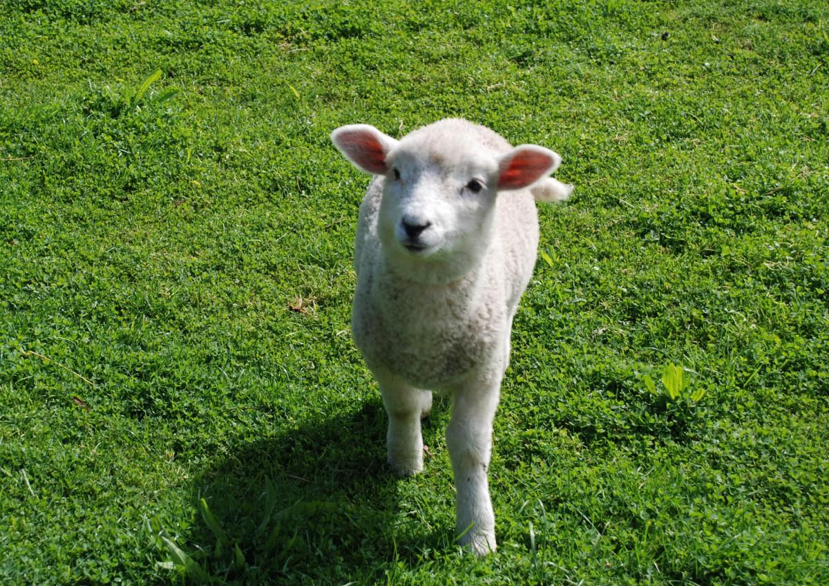 natureland_lamb