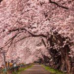 【シドニーで日本の春を満喫!】シドニー桜まつりに行ってきました