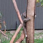タロンガ動物園も誕生日割引が効く!?シドニーでお得に誕生日を過ごす方法!